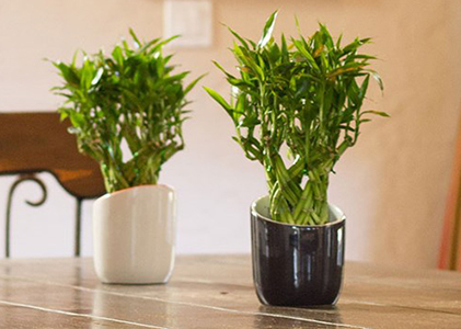 Feng shui Bamboo plant is considered auspicious