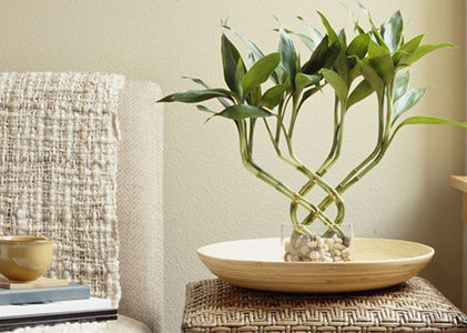 Benefits of Feng shui Bamboo Plant