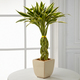 Bring good luck and fortune with lucky bamboo plant