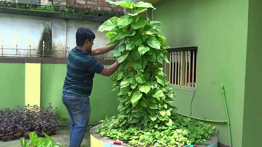 About money plant as per Vastu
